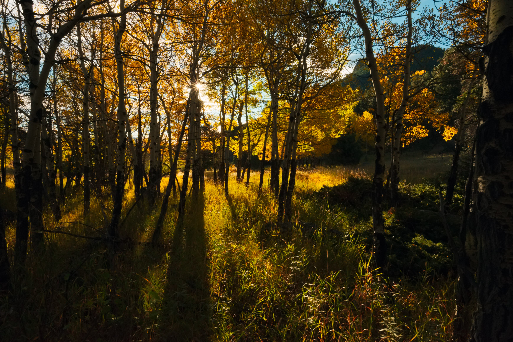 Early Morning Aspens